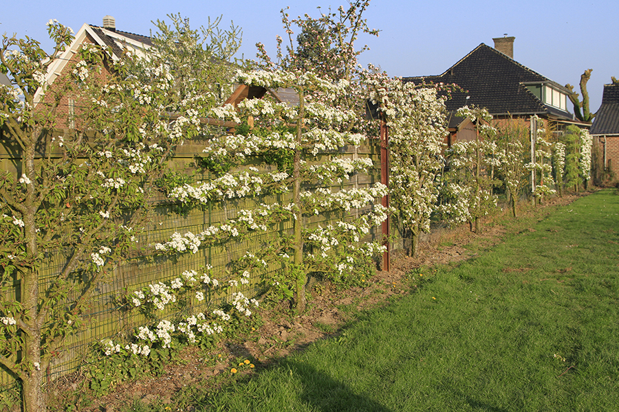 espalier methode cossonnet fruitier