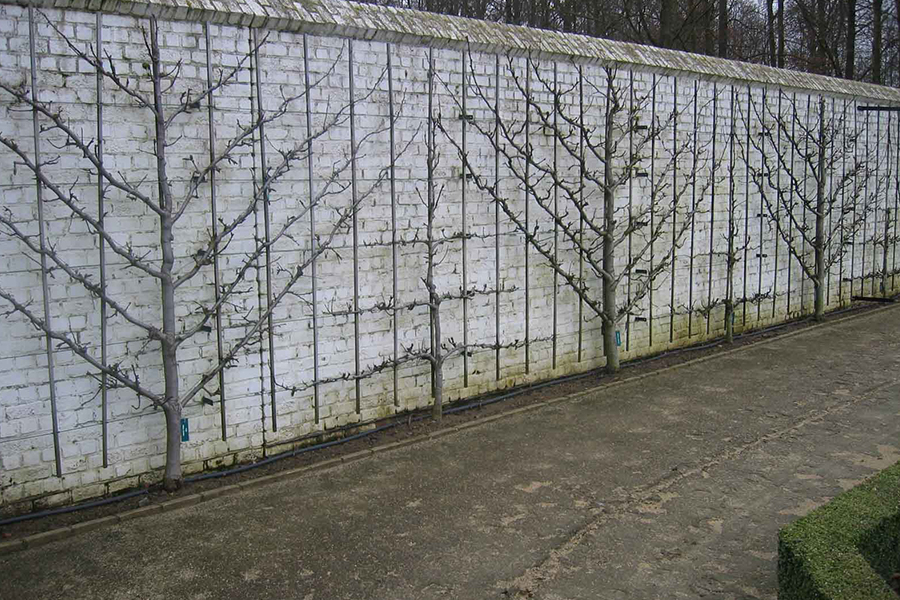 espalier methode cossonnet