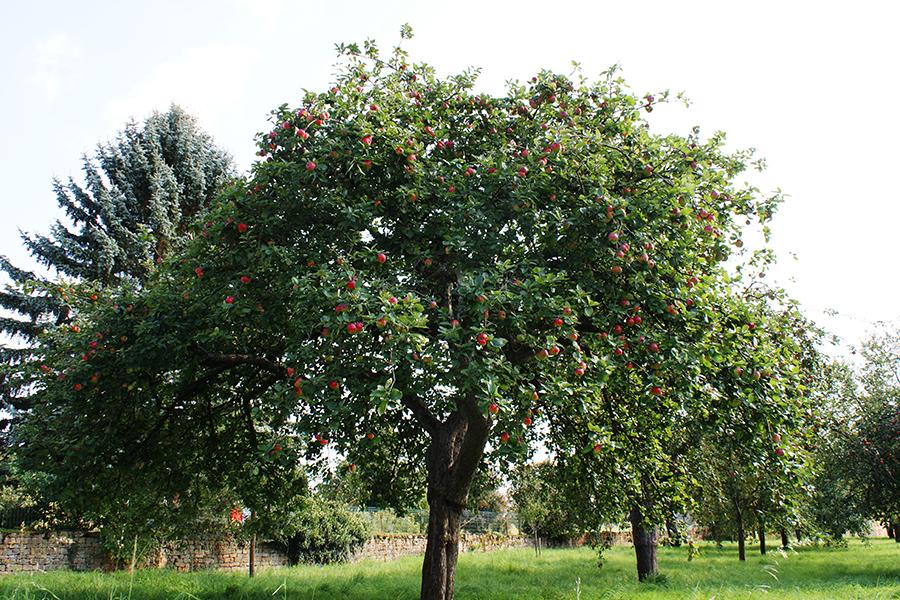 haute tige arbre fruitier