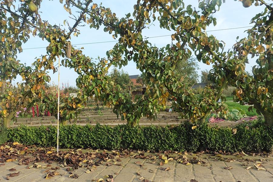 espalier losange fruitier