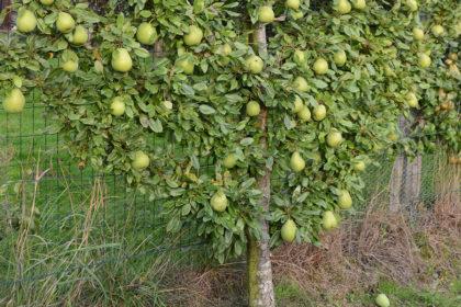 espalier oblique fruitier