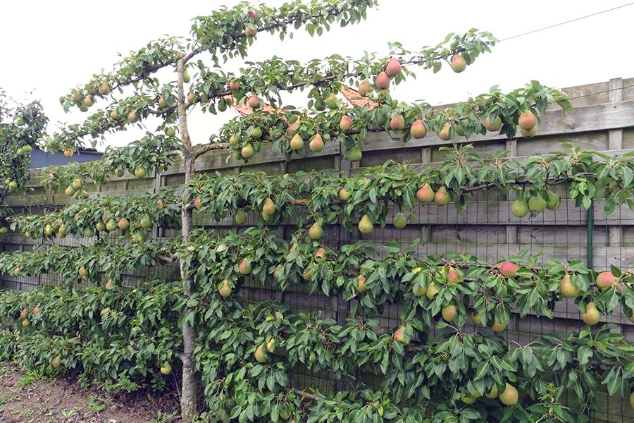 palmette horizontale fruitier