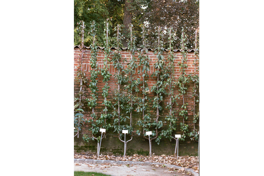 U simple espalier fruitier