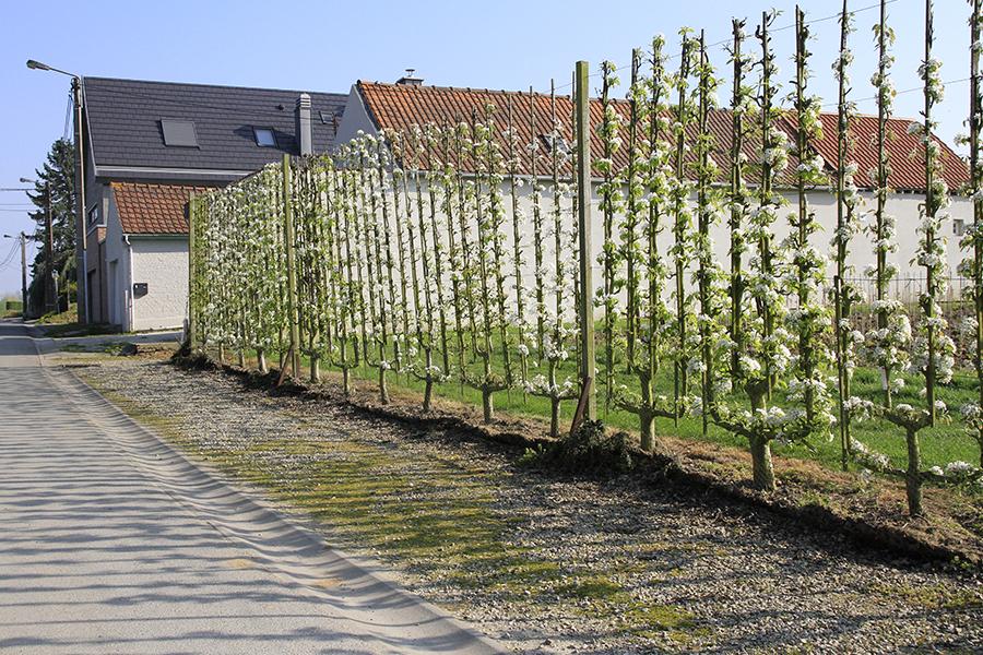 palmette verrier espalier fruit pépinières d'Enghien