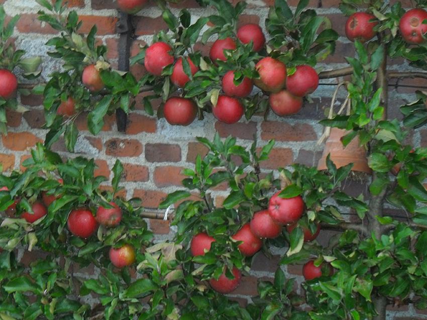 espalier fruitier